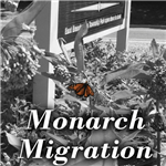 20190921 Monarch Migration